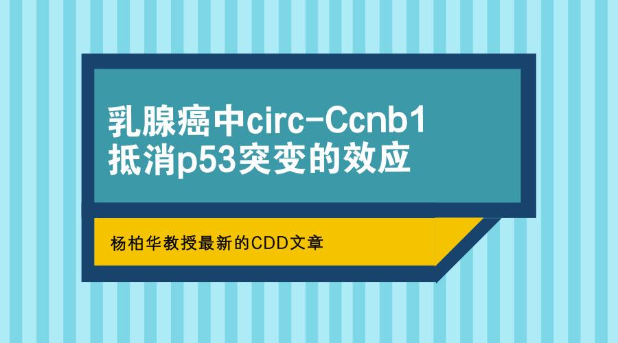 乳腺癌中circ-Ccnb1抵消p53突