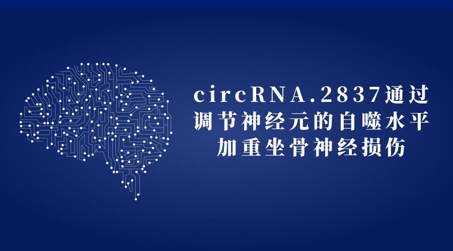circRNA.2837通过调节神经元的