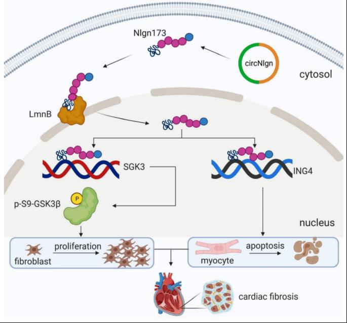 重磅 | 心血管顶刊Circ Res,首发circRNA翻译蛋白文章