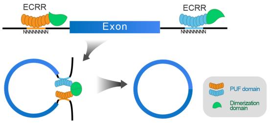Theranostics:人工设计蛋白ECRRs可特异性促进circRNA生成