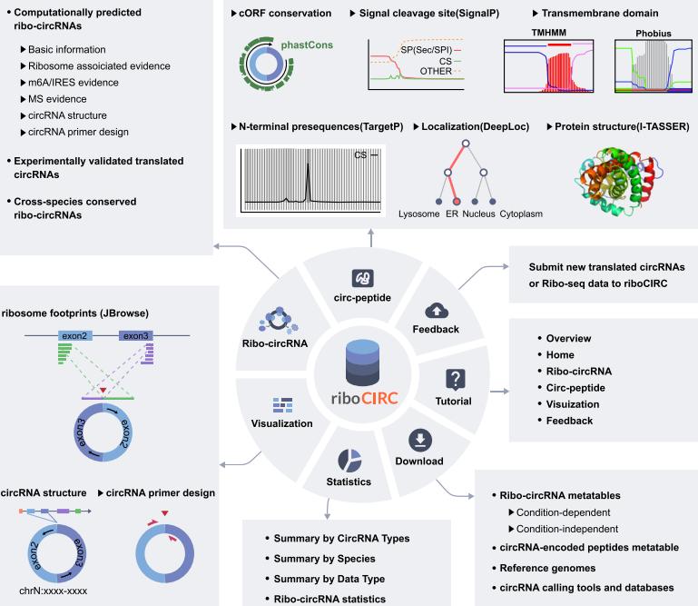 riboCIRC | 另一个可翻译 circRNA 数据库